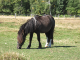 miniature horse gallery