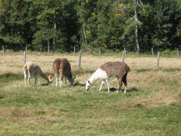 llamas in hats. of two Llamas+with+hats+3