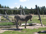 Miniature Donkey Gallery