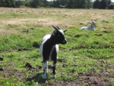 miniature goats gallery
